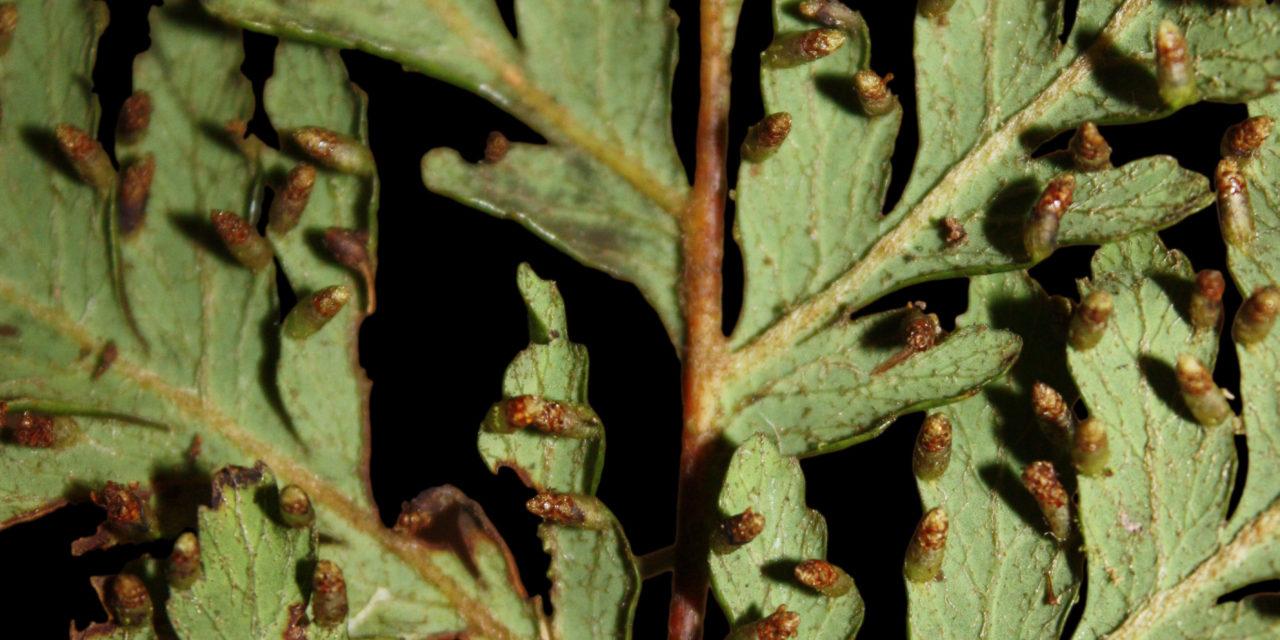 Loxsomopsis pearcei