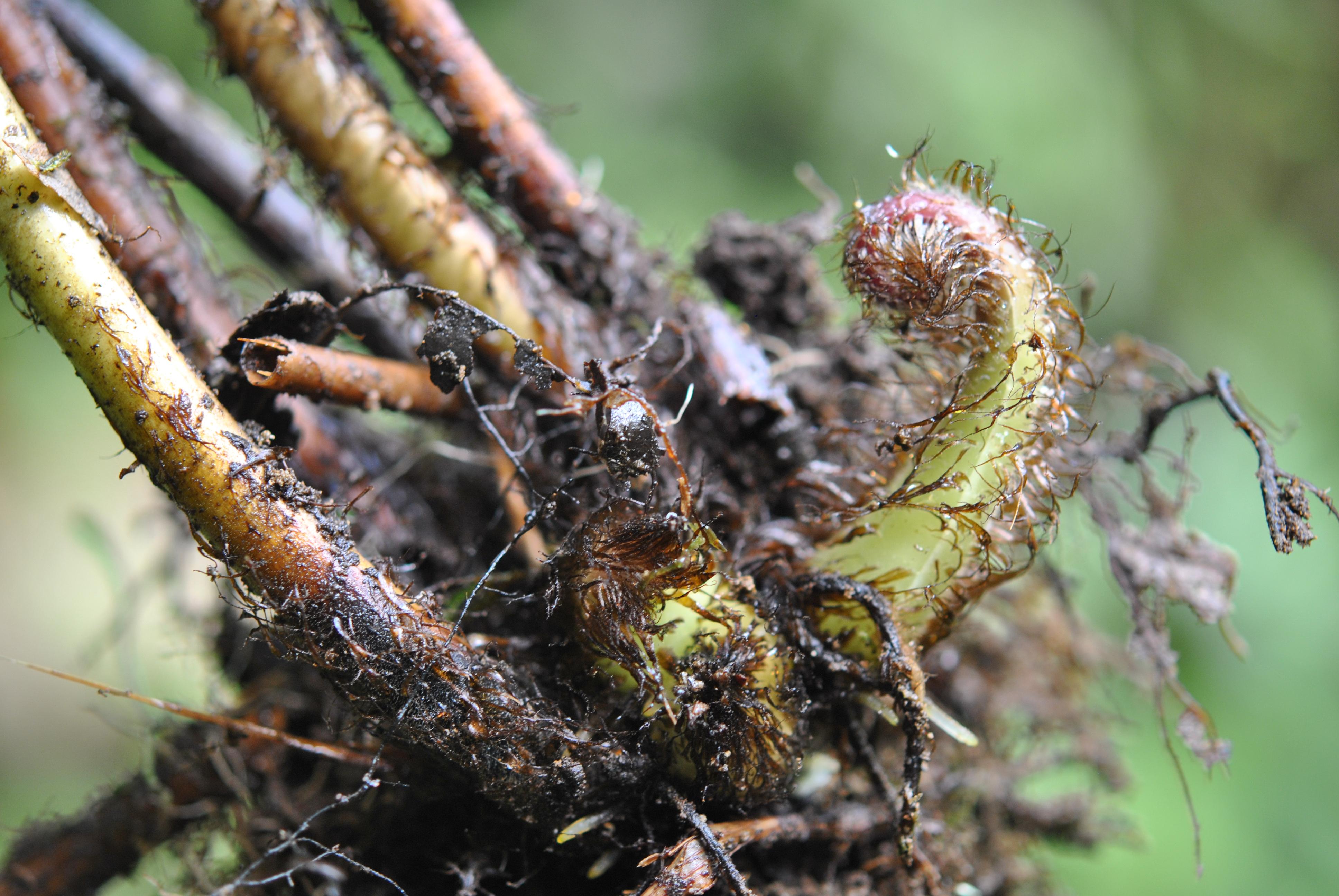 Macrothelypteris torresiana