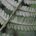 Megalastrum ctenitoides