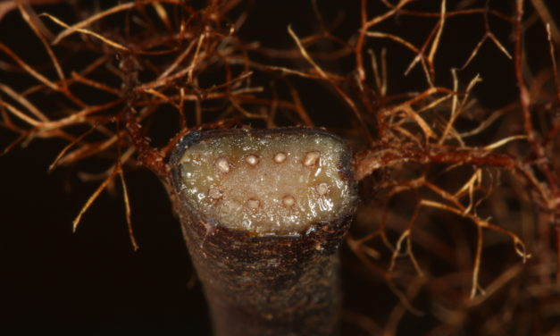 Alsophila capensis subsp. polypodioides