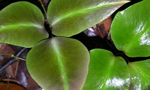 Adiantum diphyllum