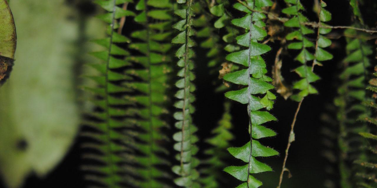 Alansmia smithii