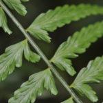 Asplenium auritum