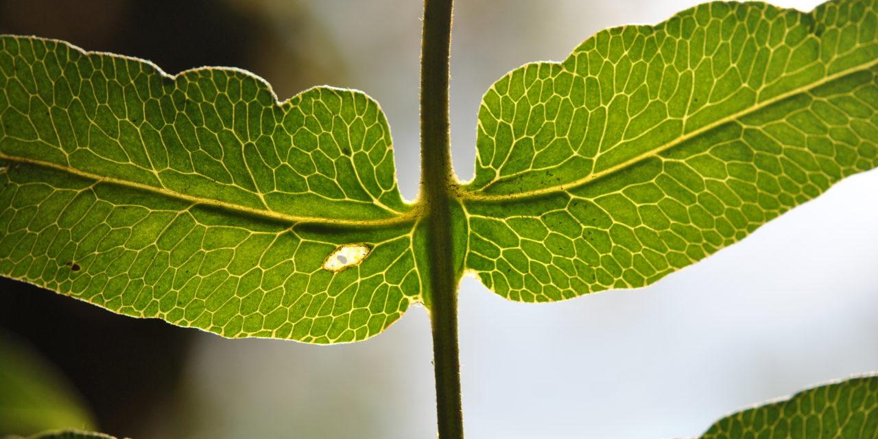 Blotiella lindeniana
