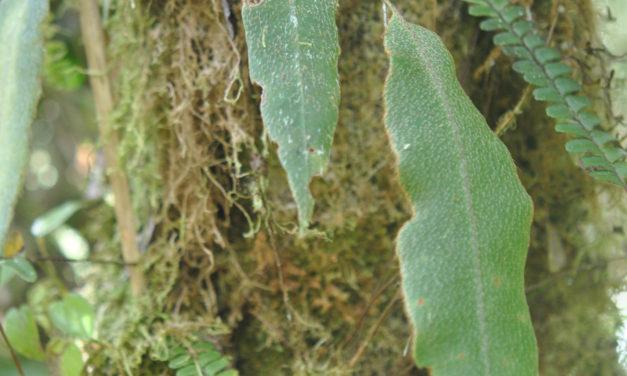 Elaphoglossum cf. rosenstockii Christ ex Rosenst.