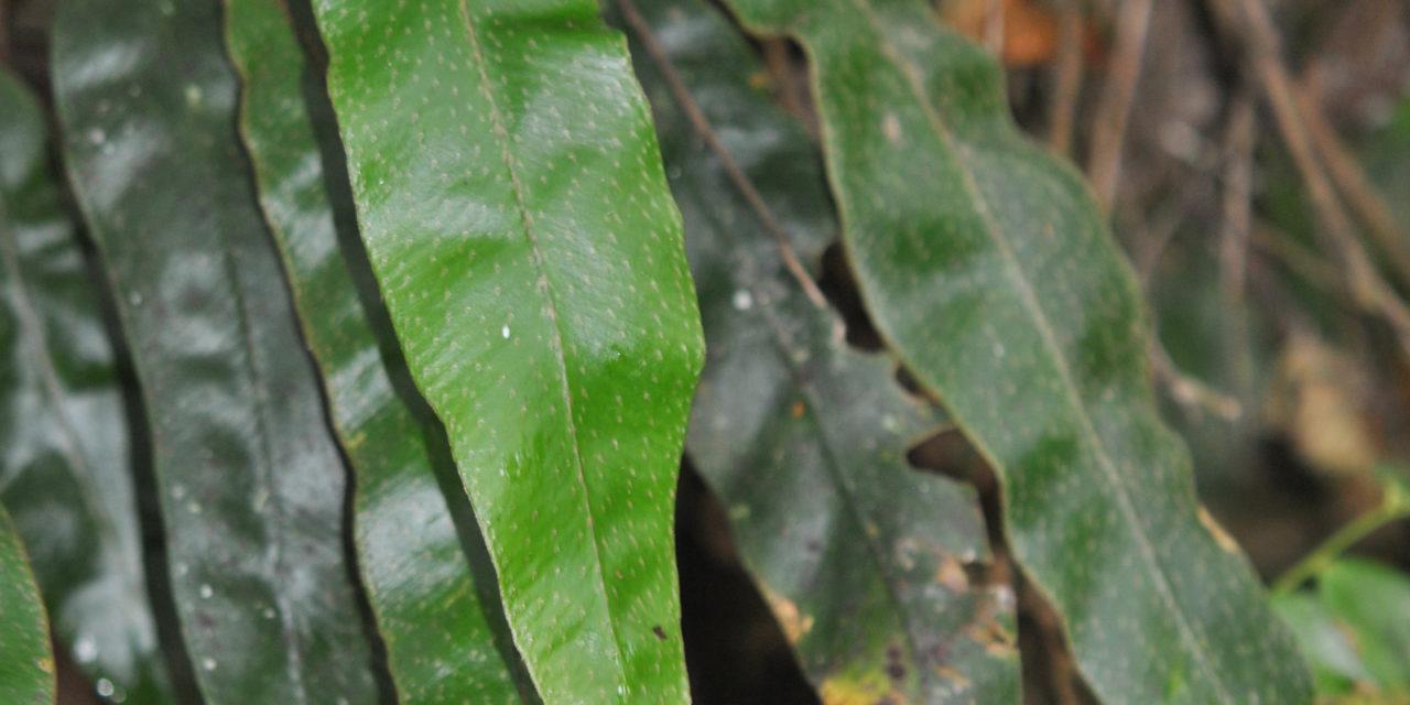 Elaphoglossum wardiae