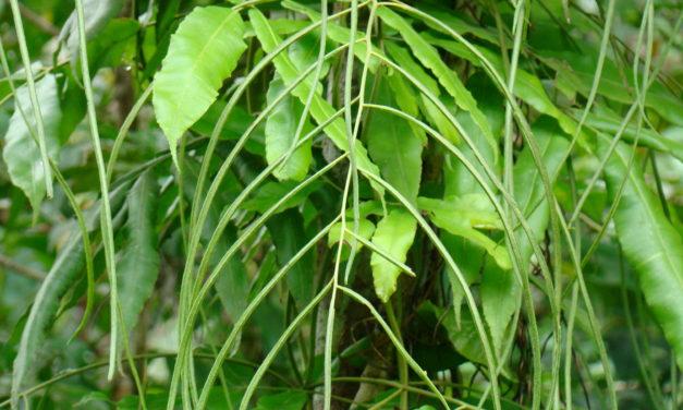 Salpichlaena hookeriana