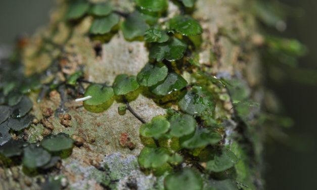 Didymoglossum ovale