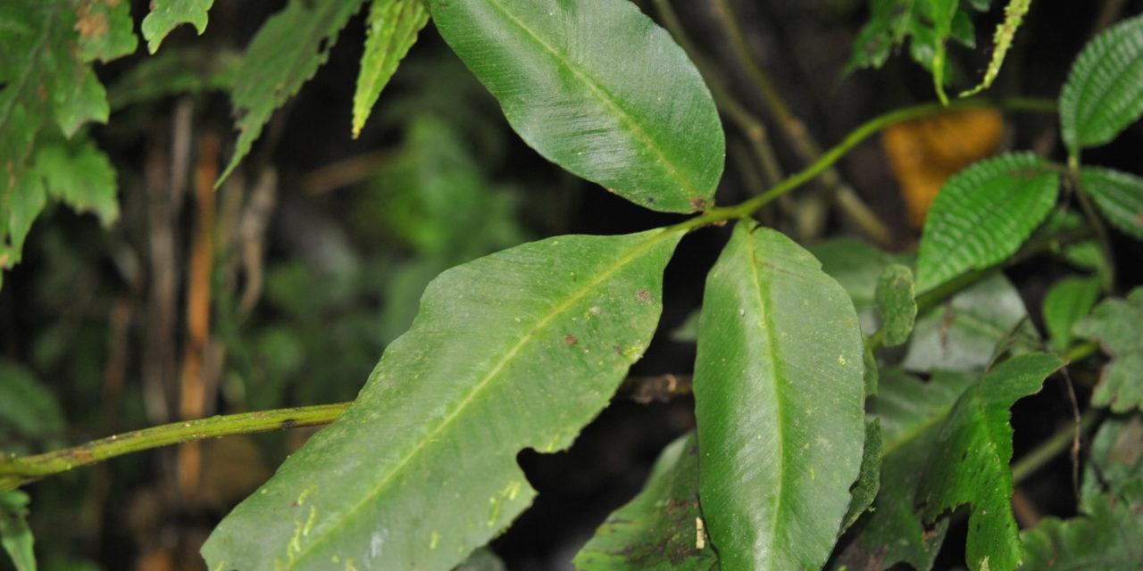 Desmophlebium longisorum