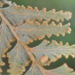 Hymenophyllum speciosum