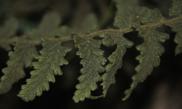 Hymenophyllum dependens