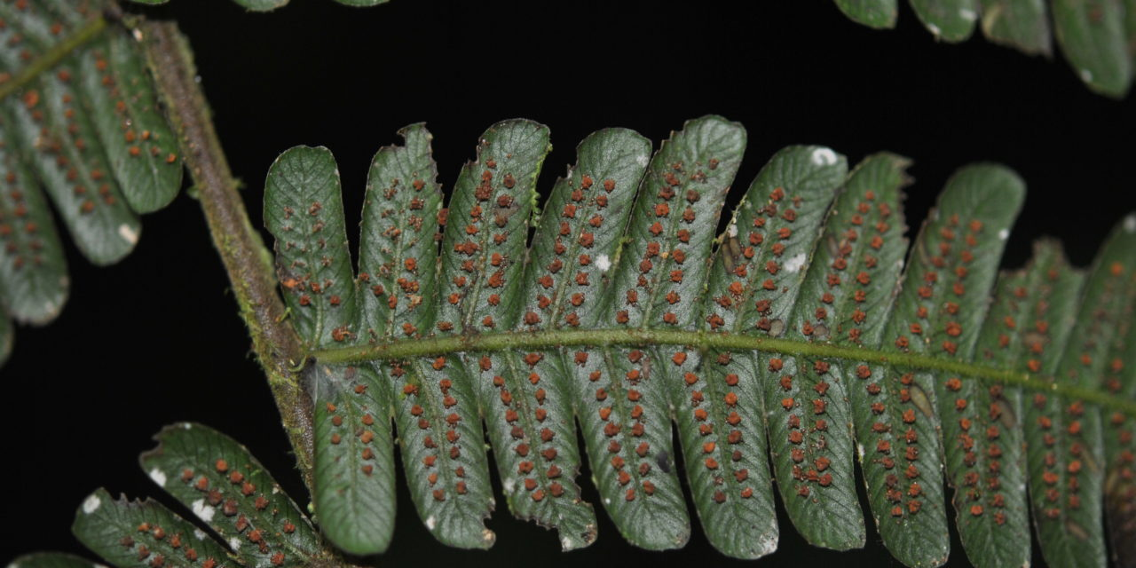 Steiropteris leprieurii