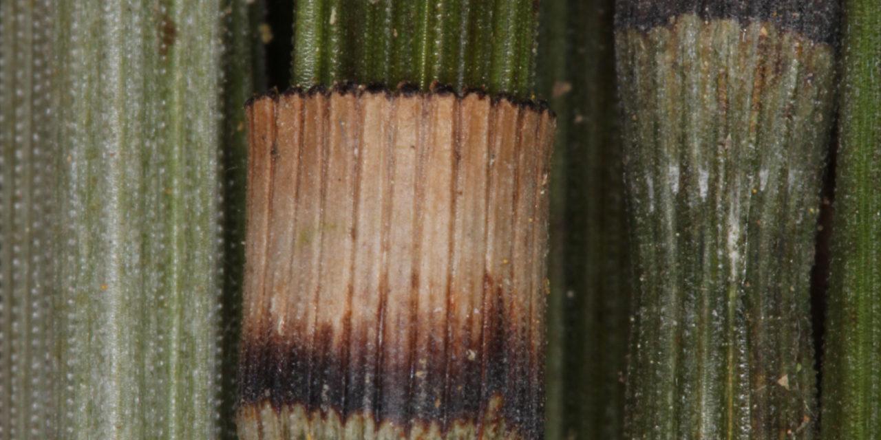 Equisetum myriochaetum