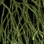 Phlegmariurus pringlei