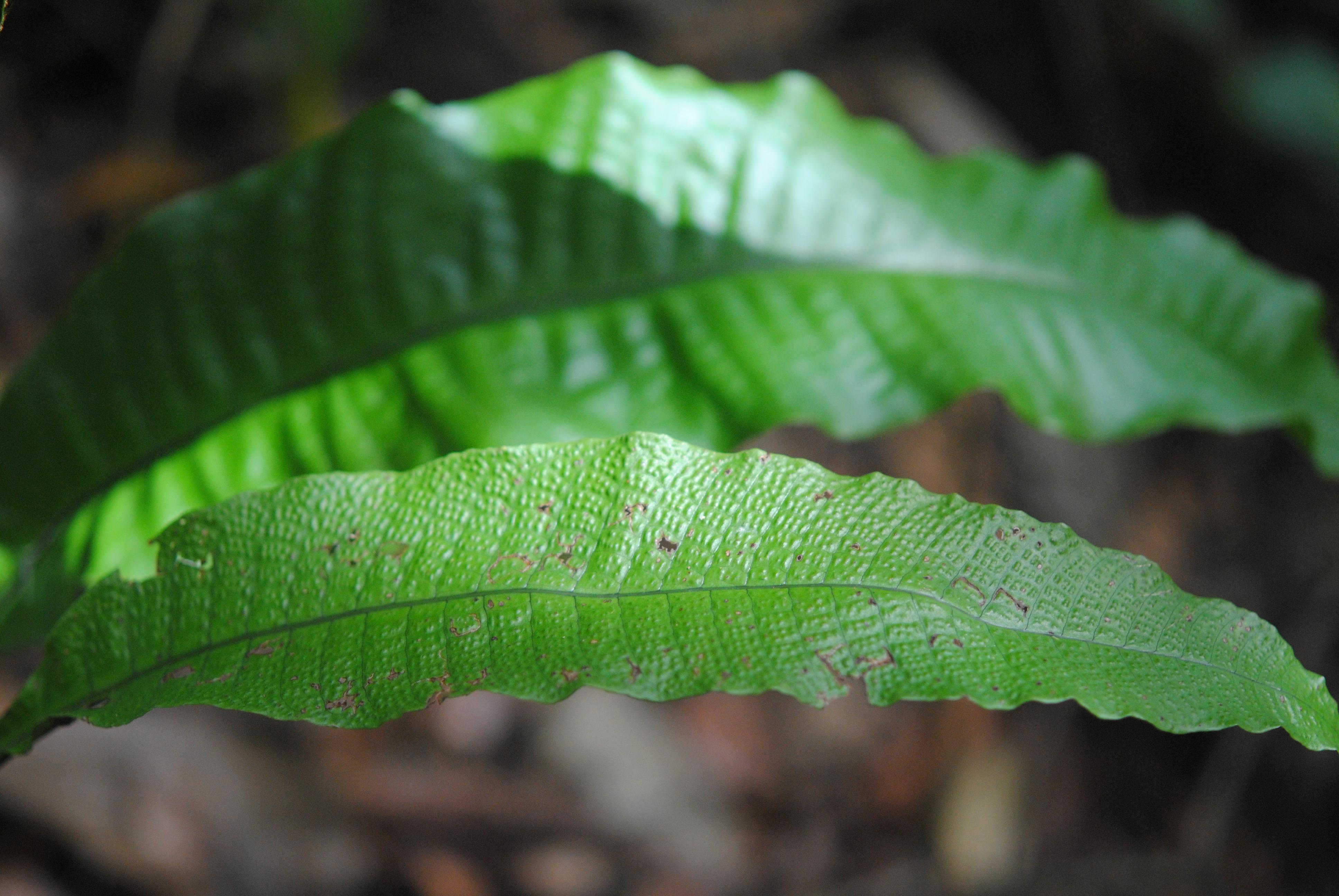 Tectaria singaporeana