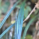 Elaphoglossum glabellum