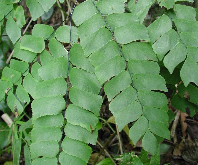 Adiantum peruvianum