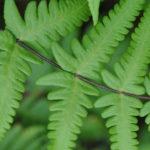 Pseudophegopteris aurita