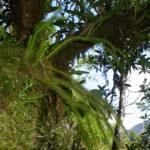 Phlegmariurus squarrosus