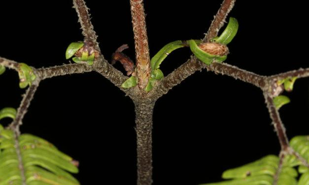 Sticherus palmatus