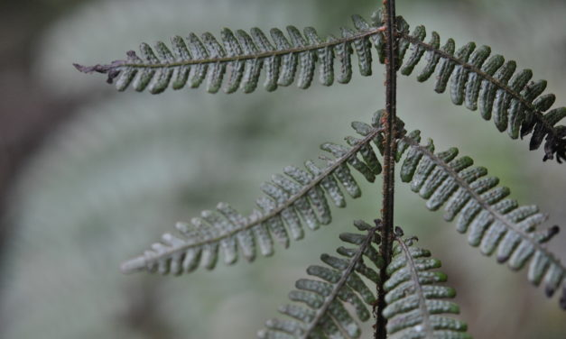 Coryphopteris sp.