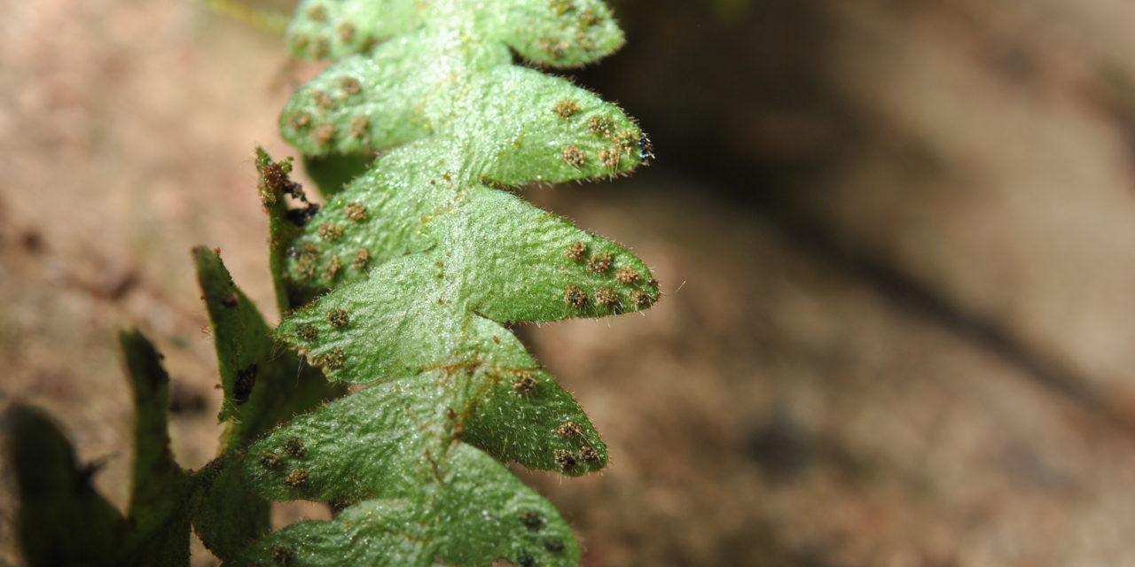 Prosaptia cf. bolobensis