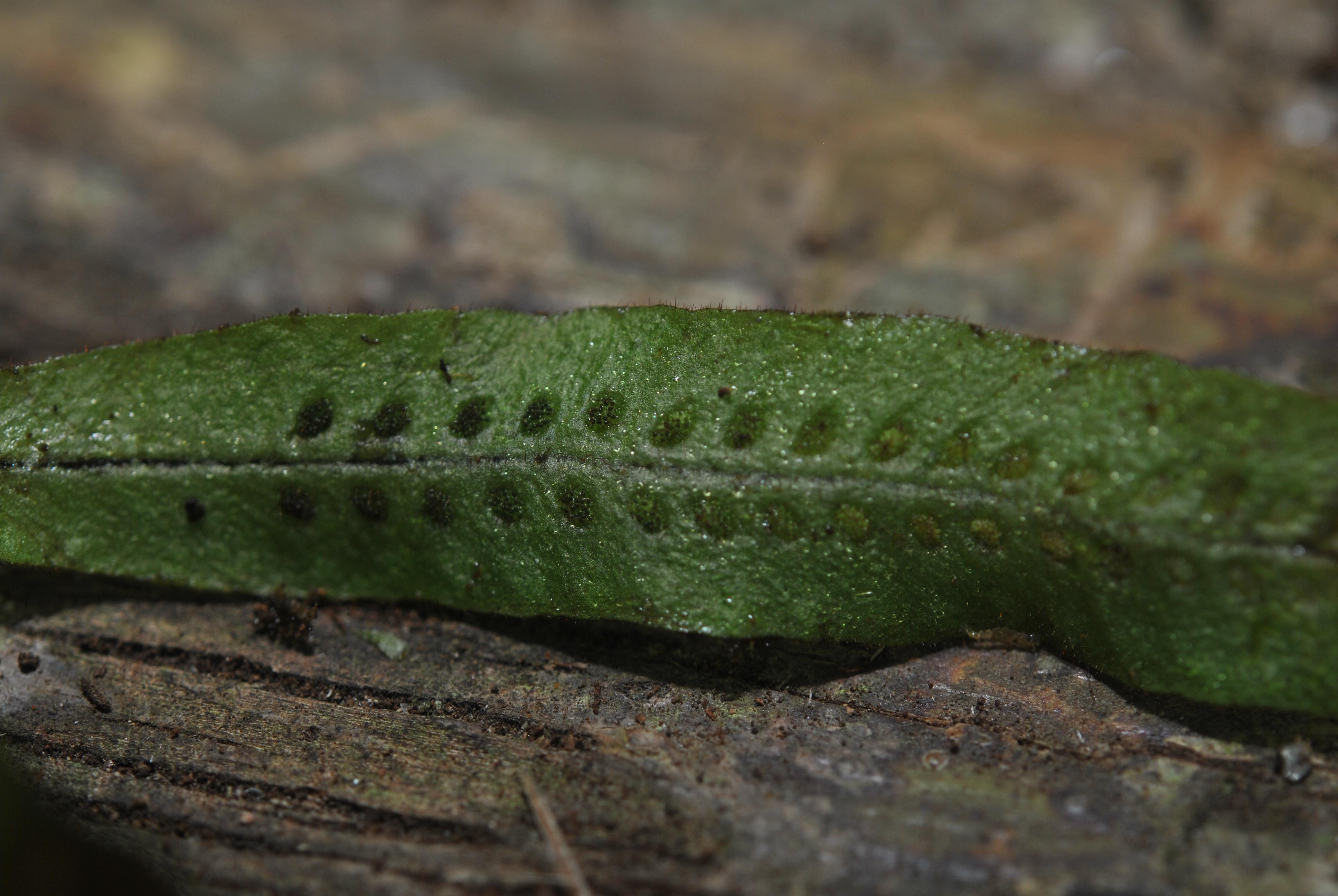 Oreogrammitis curtipila