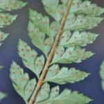 Polystichum moluccense