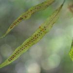 Oreogrammitis sumatrana