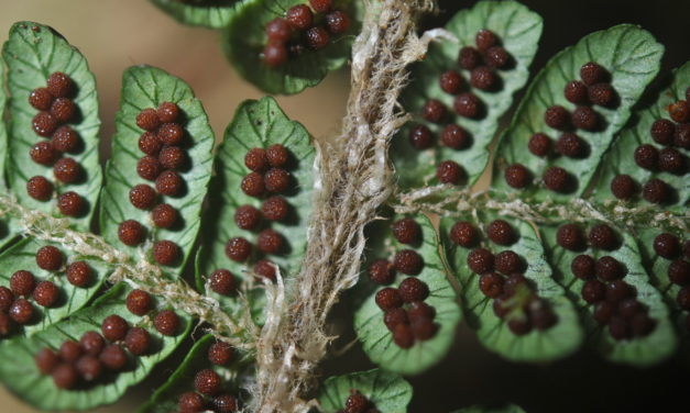 Alsophila albidosquamata