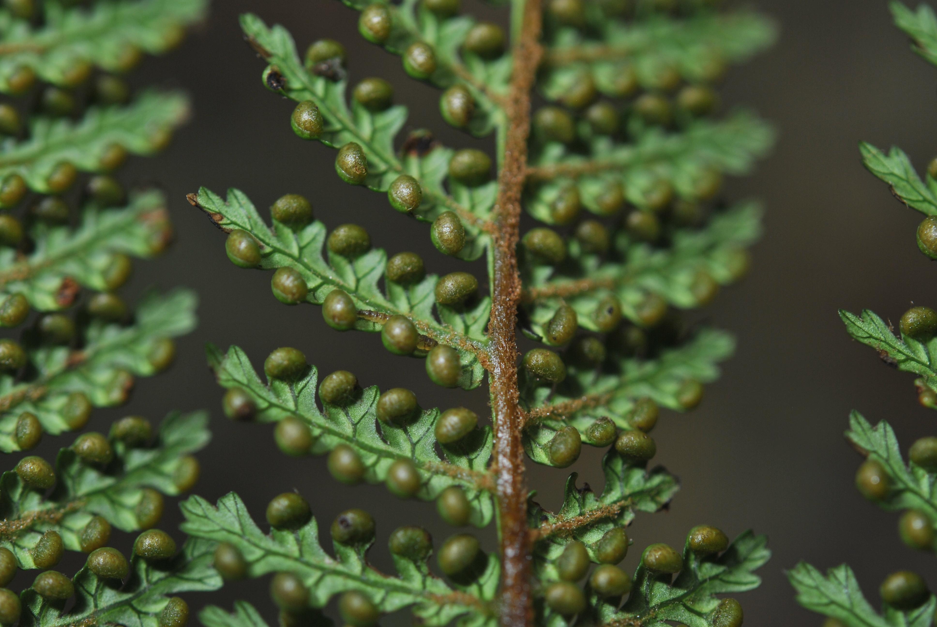 Dicksonia sciurus