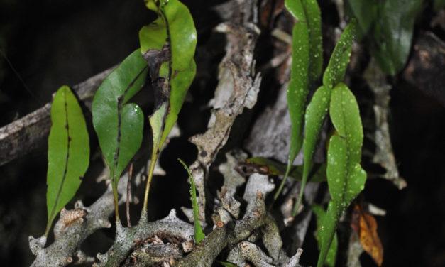 Lecanopteris sinuosa