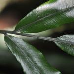 Lomariopsis kingii
