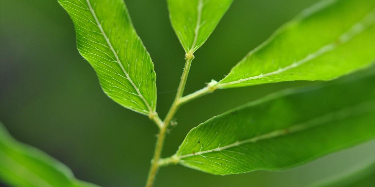 Lygodium salicifolium