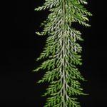 Tomophyllum millefolium