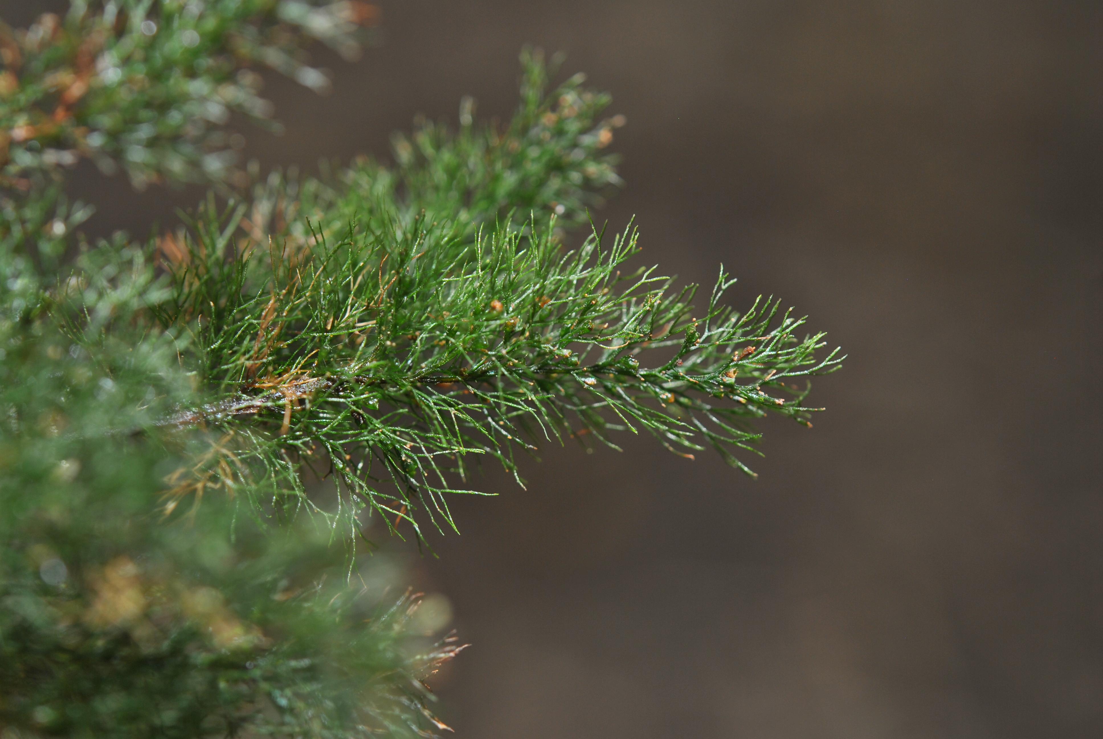 Abrodictyum pluma