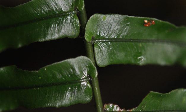 Cyclopeltis semicordata