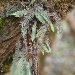 Galactodenia subscabra