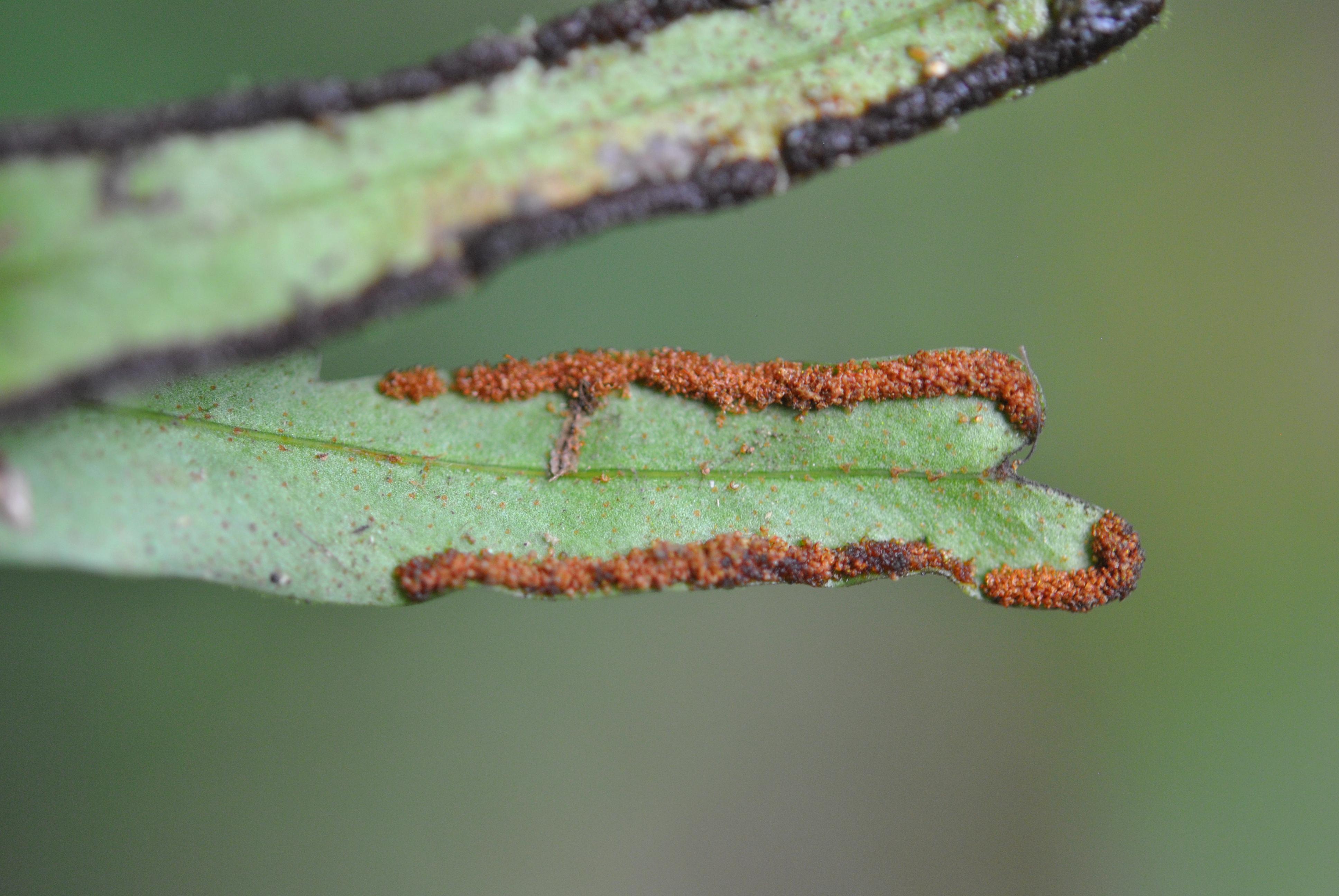 Pleopeltis christensenii