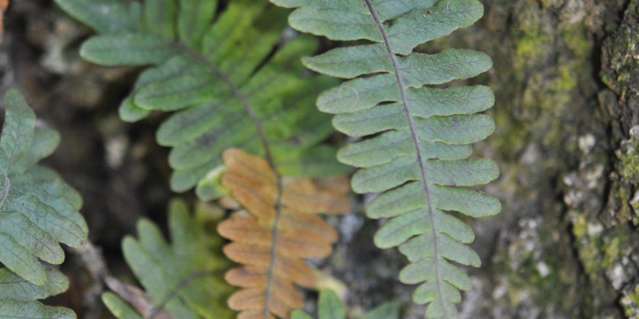 Serpocaulon eleutherophlebium, vel. aff.