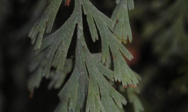 Hymenophyllum pallidum