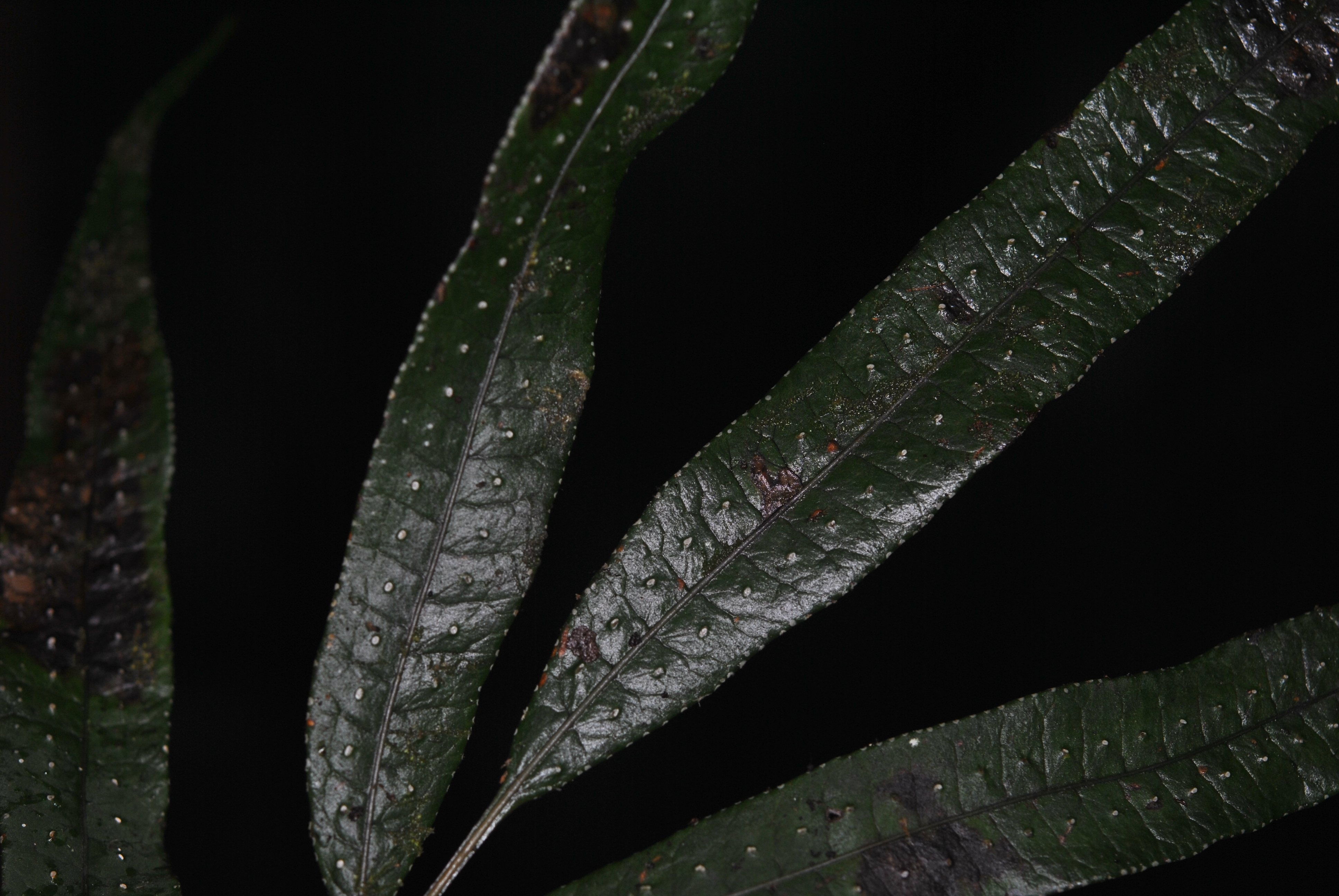 Selliguea albidosquamata