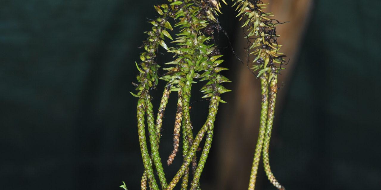 Phlegmariurus hellwigii