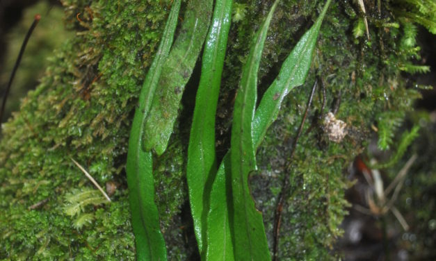 Elaphoglossum cf angulatum