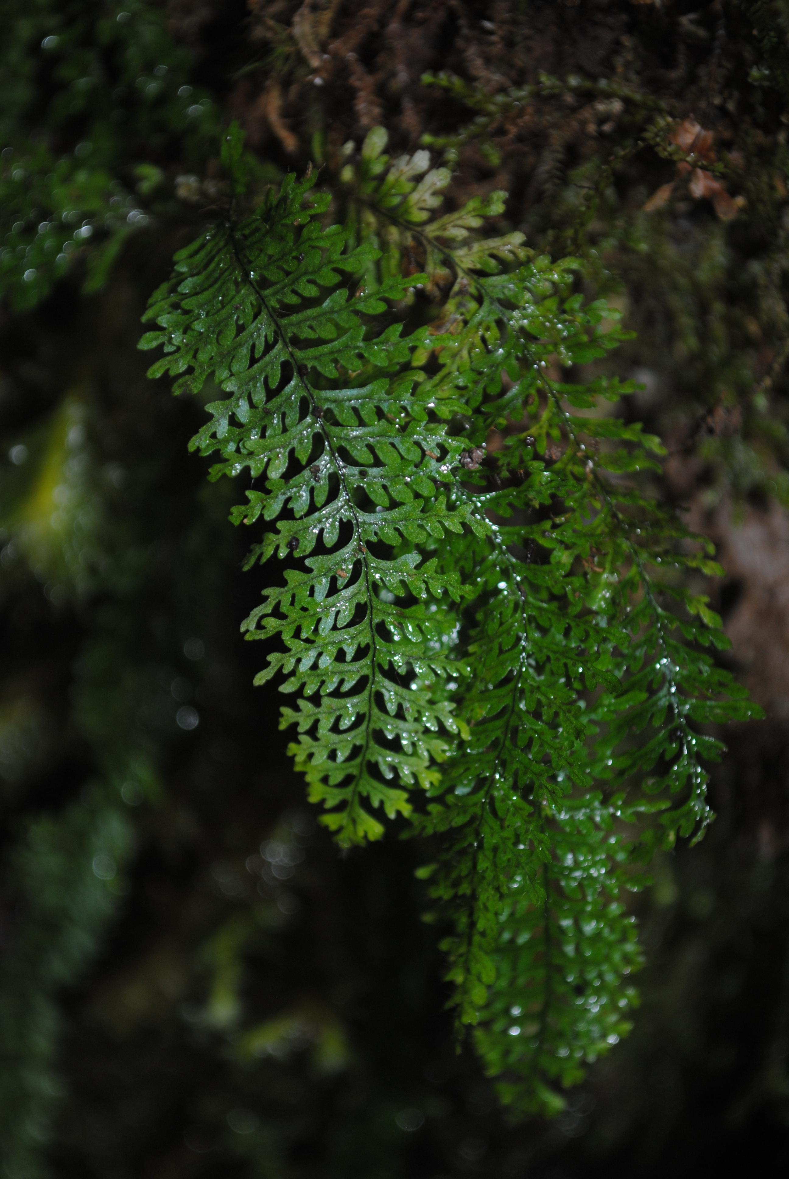 Tomophyllum subsecundodissectum