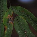 Phlebodium inaequale