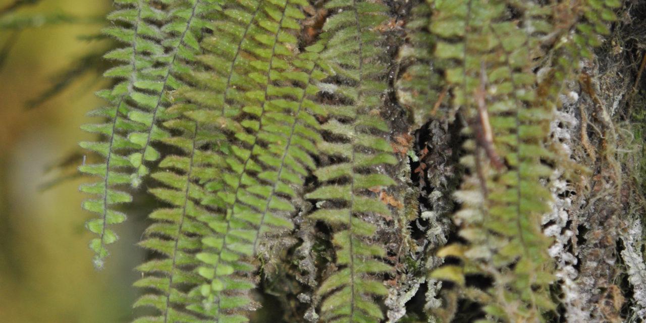 Tomophyllum beleense