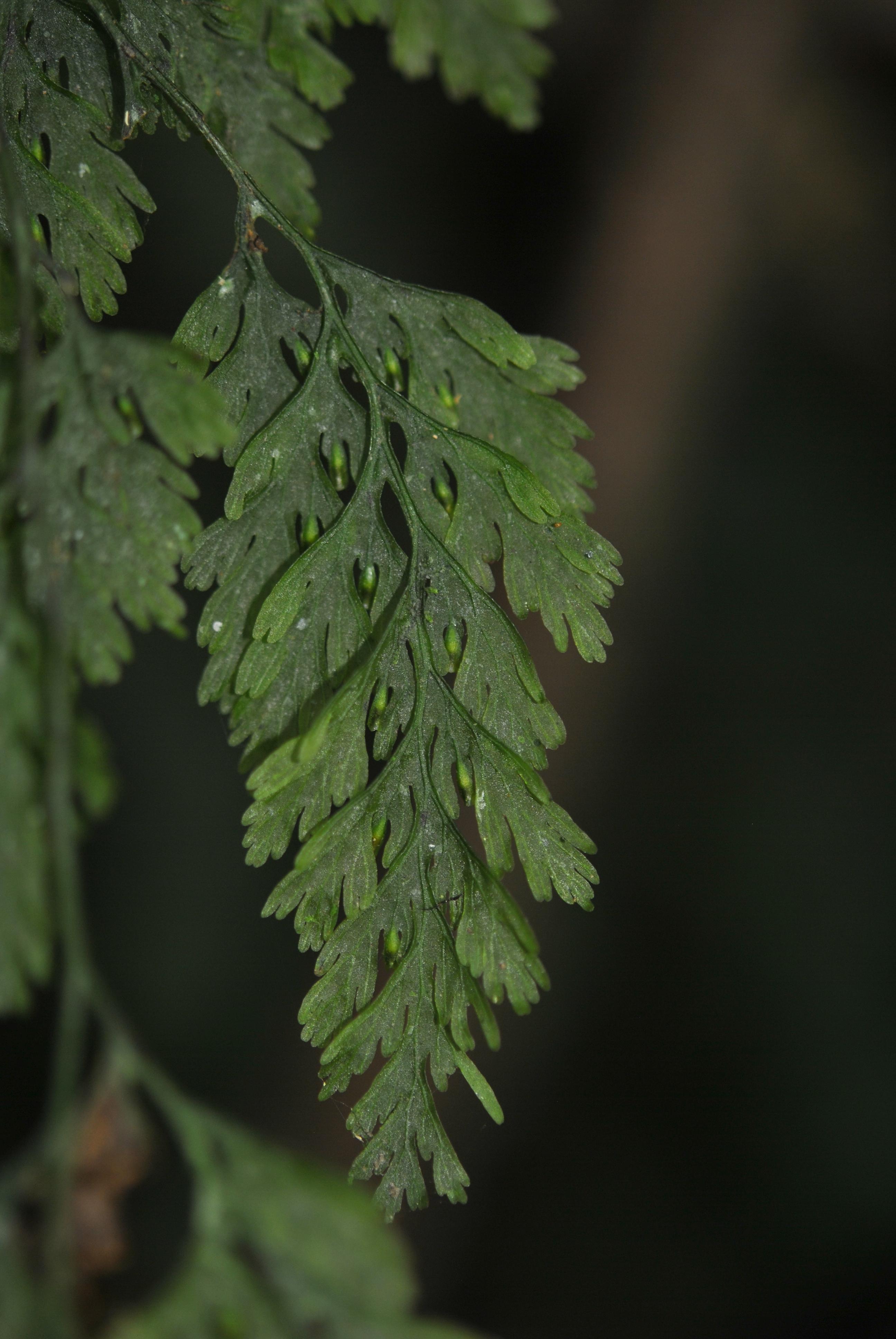 Vandenboschia radicans
