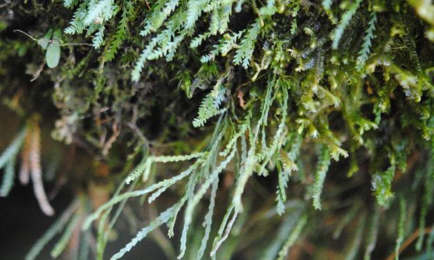 Cochlidium serrulatum