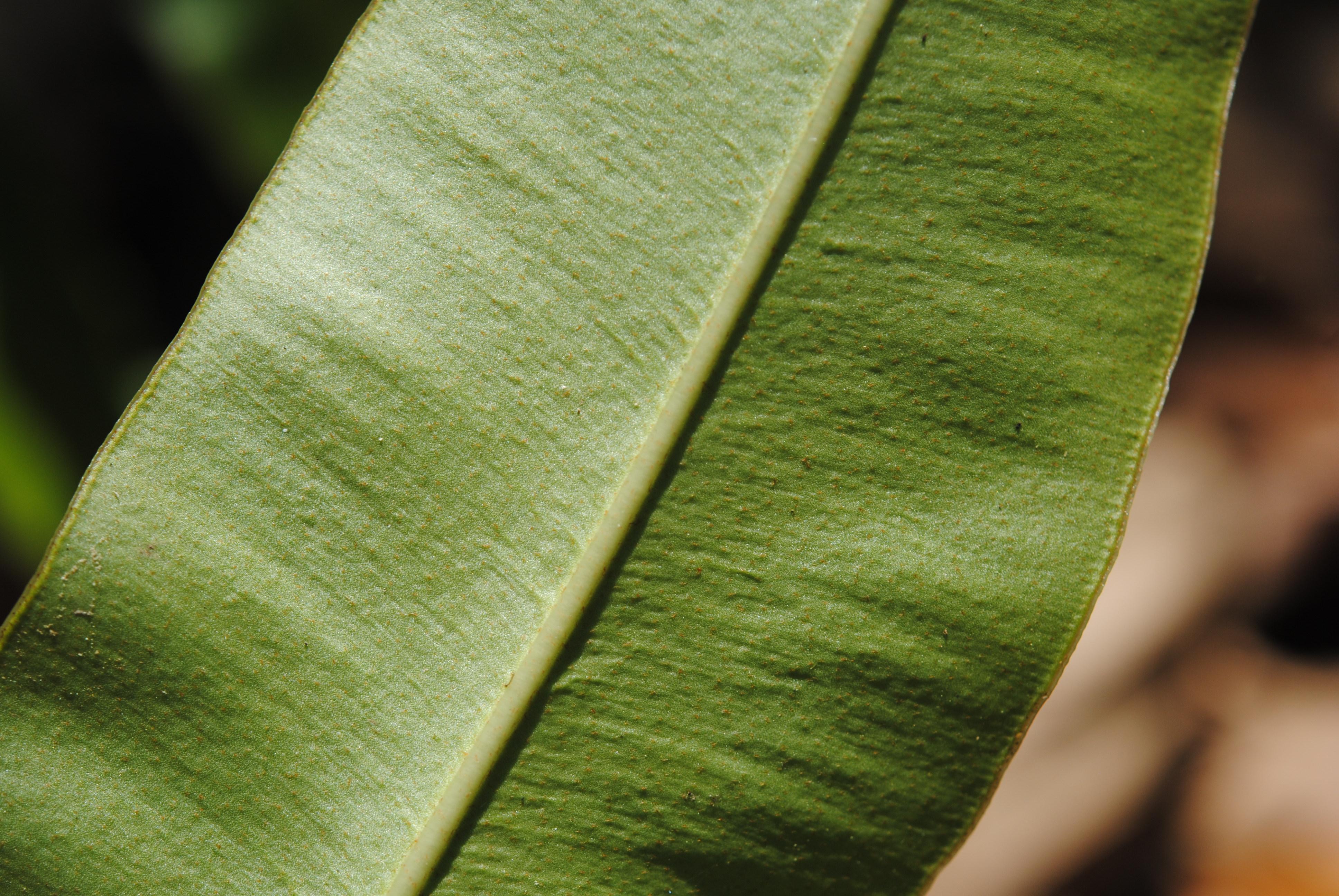 Elaphoglossum yourkeorum